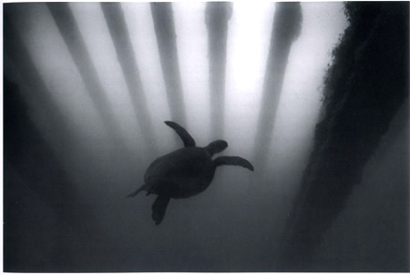 Wayne Levin, Green Sea Turtle